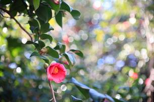 冬の日差しをバックに咲くヤブツバキの写真素材 [FYI00135229]
