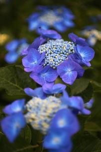 紫の紫陽花の写真素材 [FYI00135289]