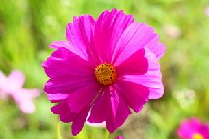 ピンクのコスモスの写真素材 [FYI00135396]
