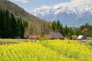 菜の花と五竜岳の写真素材 [FYI00135471]