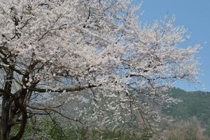 安曇野の春の素材 [FYI00135482]