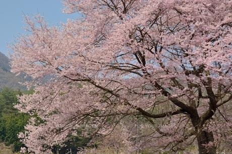桜咲くの素材 [FYI00135485]