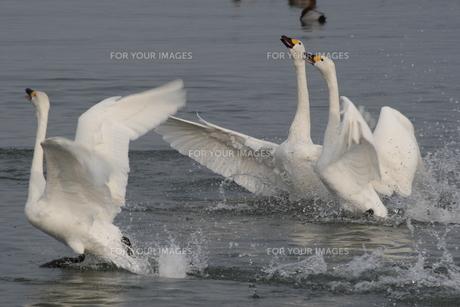 白鳥の舞いの写真素材 [FYI00135487]
