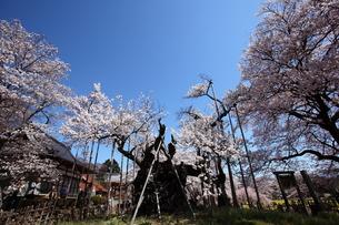 快晴の山高神代桜の写真素材 [FYI00135516]