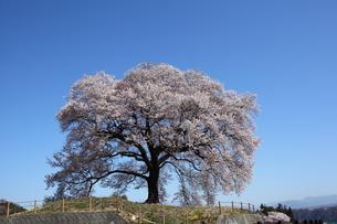 快晴のわに塚の桜の写真素材 [FYI00135523]