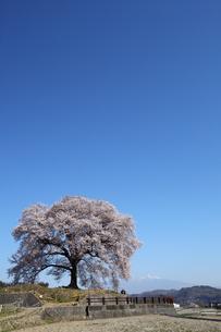 快晴のわに塚の桜の写真素材 [FYI00135524]