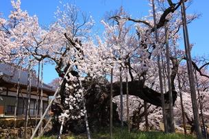 快晴の山高神代桜の写真素材 [FYI00135528]