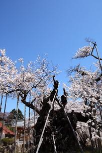 快晴の山高神代桜の写真素材 [FYI00135530]