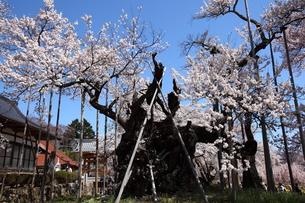 快晴の山高神代桜の写真素材 [FYI00135533]