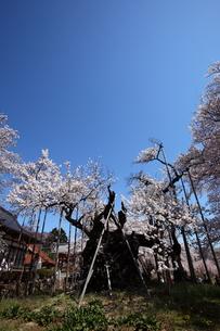 快晴の山高神代桜の写真素材 [FYI00135534]