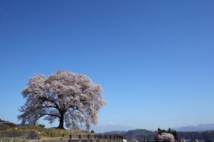快晴のわに塚の桜の写真素材 [FYI00135547]