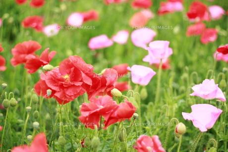 お花畑の素材 [FYI00135698]