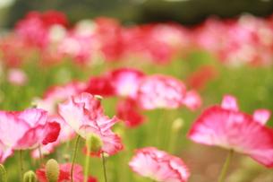 お花畑の素材 [FYI00135701]