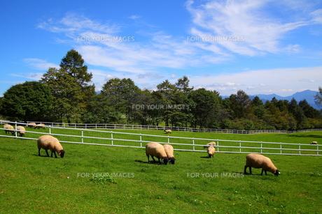 高原と羊の写真素材 [FYI00135716]