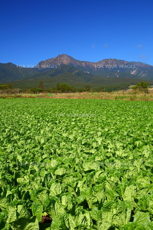 八ヶ岳と高原野菜の写真素材 [FYI00135719]