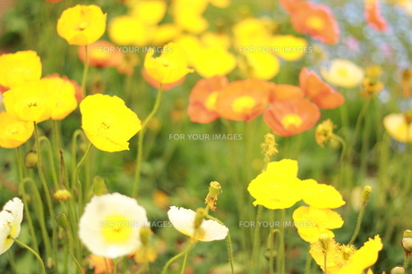 お花畑の素材 [FYI00135724]