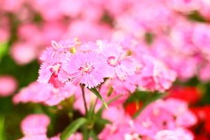 お花畑の素材 [FYI00135730]