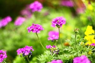お花畑の素材 [FYI00135735]