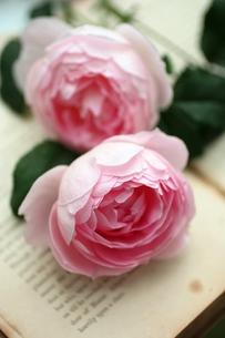 ピンクのバラの写真素材 [FYI00136018]