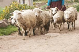 羊飼いと羊の群れの写真素材 [FYI00136252]