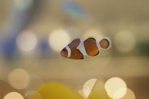 水槽の中の熱帯魚の写真素材 [FYI00136265]