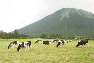 大山と牛の写真素材 [FYI00136273]