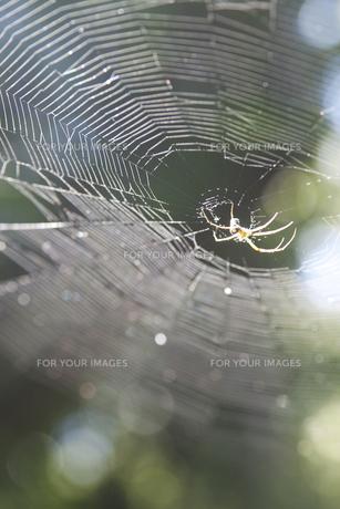 クモの巣(縦型)の写真素材 [FYI00136275]