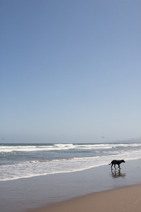 浜辺の犬の写真素材 [FYI00136279]