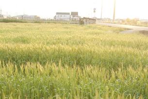 夕日に光る麦畑の写真素材 [FYI00136286]