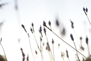ラベンダーのシルエットの写真素材 [FYI00136293]
