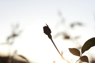 夕暮れ、バラのシルエットの写真素材 [FYI00136294]