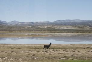 南米、走るアルパカの写真素材 [FYI00136305]