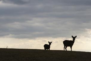 若草山と鹿のシルエットの写真素材 [FYI00136307]