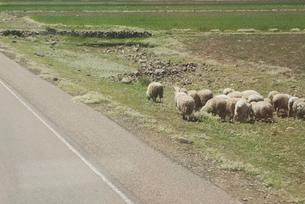ペルー、羊の放牧の写真素材 [FYI00136311]