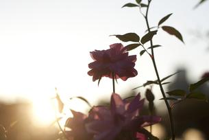 夕日と薔薇のシルエットの写真素材 [FYI00136316]