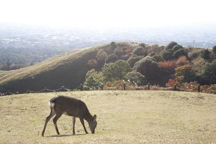 若草山、紅葉と鹿の写真素材 [FYI00136320]