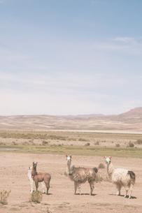 アンデスのアルパカたちの写真素材 [FYI00136328]