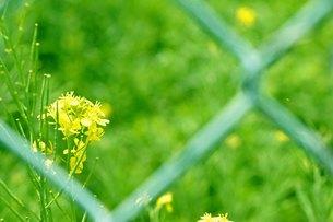 素朴に咲く菜の花の写真素材 [FYI00136332]