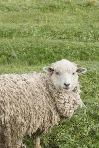 振り返る羊の写真素材 [FYI00136337]