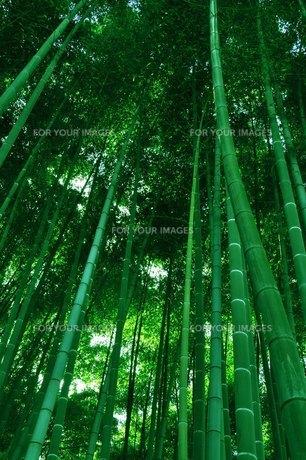 生い茂る竹林の素材 [FYI00136339]
