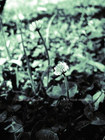 クローバーの花の素材 [FYI00136518]