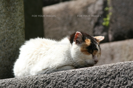 眠り猫の写真素材 [FYI00136542]