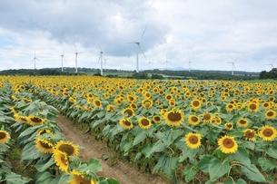 ひまわり畑と風車の素材 [FYI00136611]