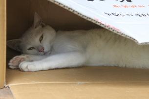 ダンボールの中の猫の写真素材 [FYI00136761]