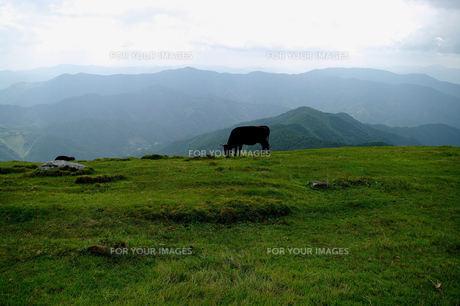 牛のいる風景の写真素材 [FYI00137035]