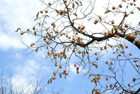 晴天の柿の写真素材 [FYI00137083]