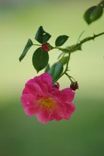 ピンクの薔薇の素材 [FYI00137091]