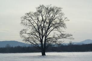 ハルニレの木の写真素材 [FYI00137125]