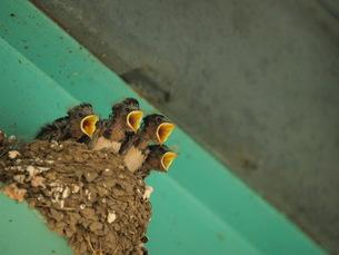 ツバメの巣と雛の写真素材 [FYI00137220]