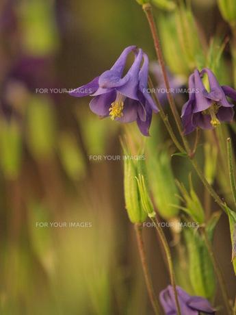 紫の花:オダマキの素材 [FYI00137332]